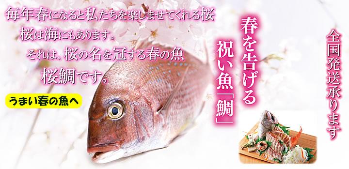 春のうまい魚 真鯛(春を告げる祝い魚「鯛」)